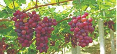 tipi di uva